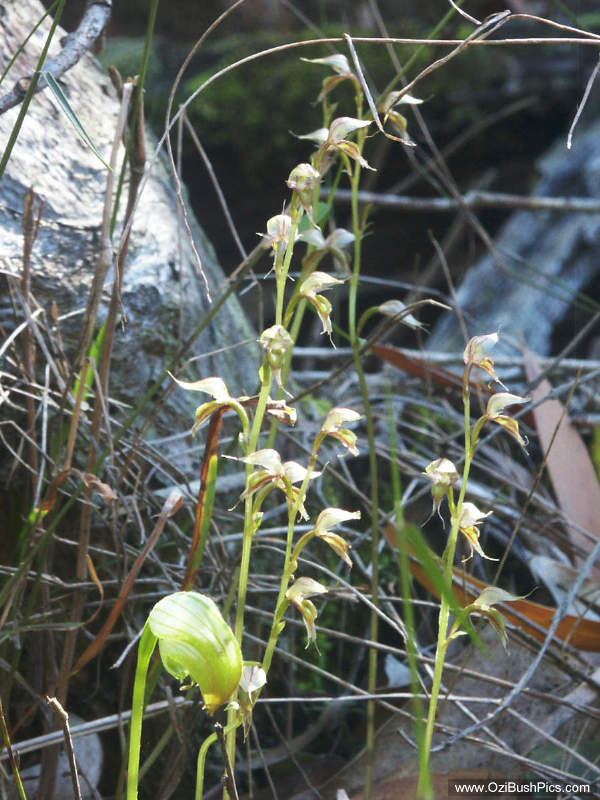 Acianthus fornicatus, Pixie caps with Pterostylis nutans, Nodding Greenhood in the foreground - Bungawalbyn, NSW.