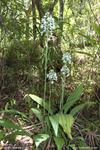 Calanthe triplicata (Christmas Orchid) - Border Ranges National Park, NSW.