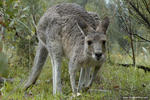 Kangaroo - Girraween National Park, QLD