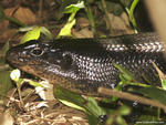 Land Mullet, (Egernia major) - Lismore,NSW.