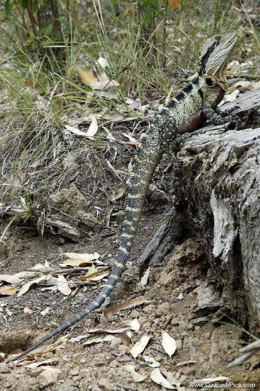 Eastern Water Dragon, Physignathus lesuerii lesuerii - Main Range National Park, QLD