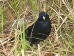 Male Satin Bowerbird, Ptilonorhynchus violaceus - Bald Rock National Park, NSW