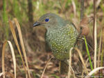 Female Satin Bowerbird, Ptilonorhynchus violaceus - Bald Rock National Park, NSW