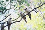 Laughing Kookaburras, Minyon Falls NSW