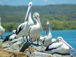 Pelicans - Evans Head, NSW.