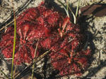 Sundew, Drosera sp. - Woodburn, NSW