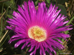Pigface, Carpobrotus glaucescens - Evans Head, NSW