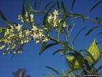 Gomphocarpus fruticosus, Narrow leaf cotton bush.  A weed, native to Sth Africa - Mid Clarence River, NSW