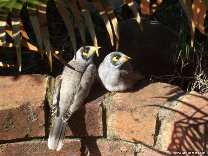 Noisy Minor chicks, Ballina NSW